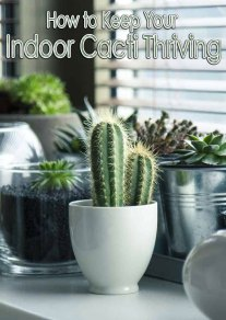How to Keep Your Indoor Cacti Thriving