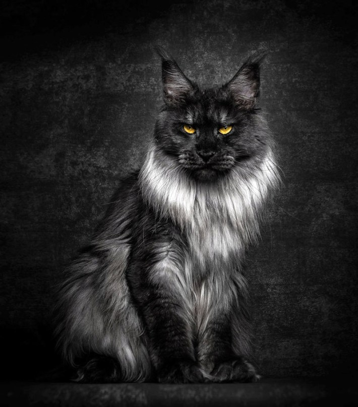 "Strikingly Beautiful Portraits of ""Cats Kings"" – Maine Coons"