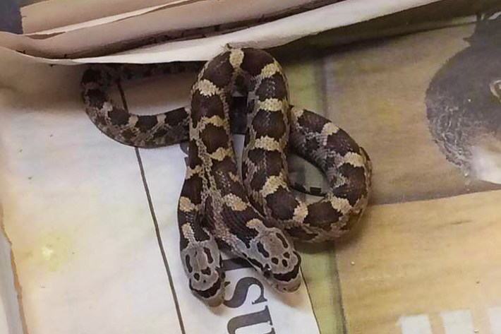 Two-headed Snake Discovered in Texas Backyard