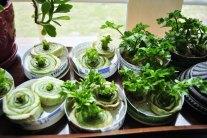 How To Regrow Celery Indoors