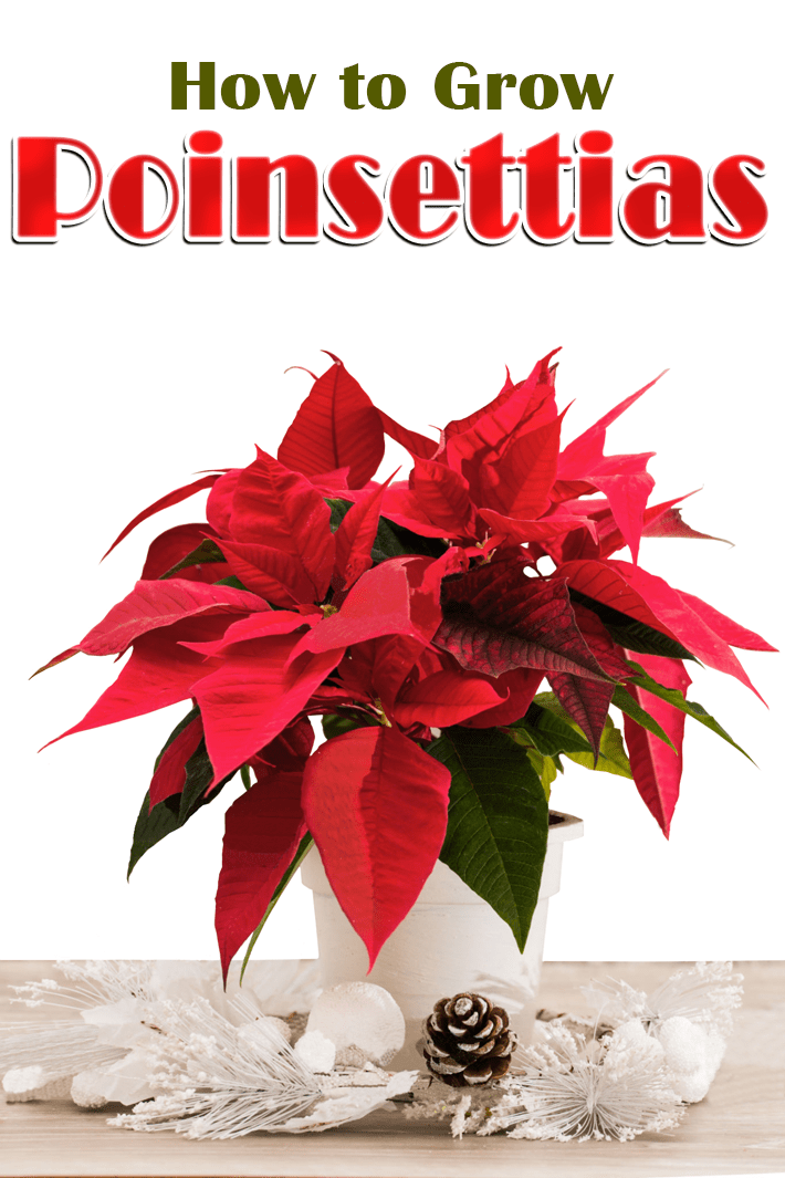 How to Grow Poinsettias - Quiet Corner