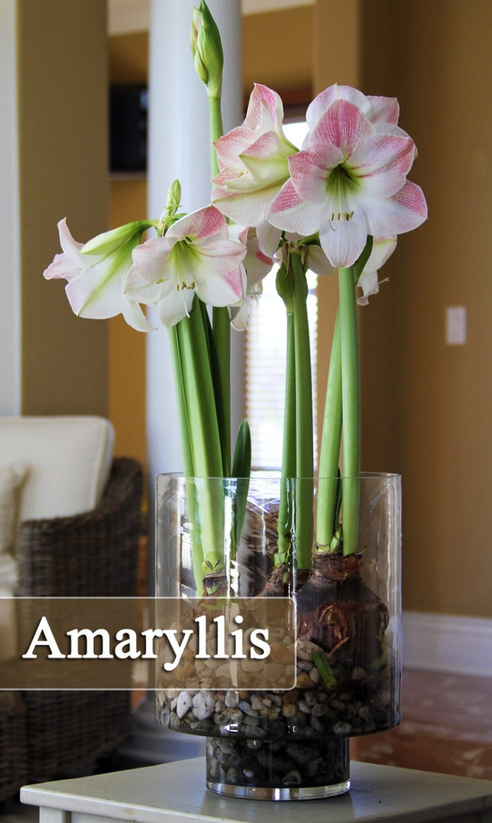 How to Grow Amaryllis ( Indoors and Outdoors )