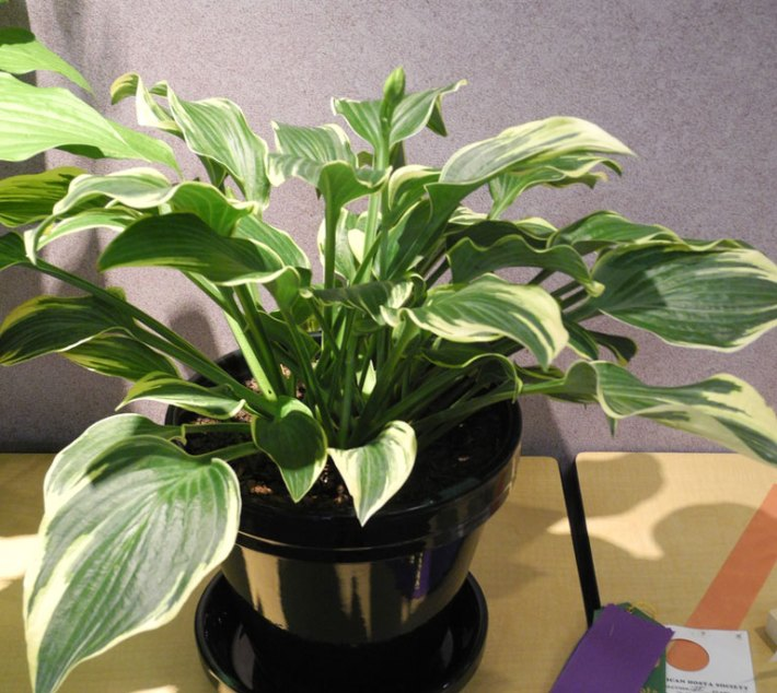 How to Grow Hosta Inside