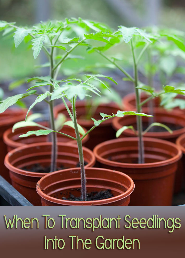 When To Transplant Seedlings Into The Garden
