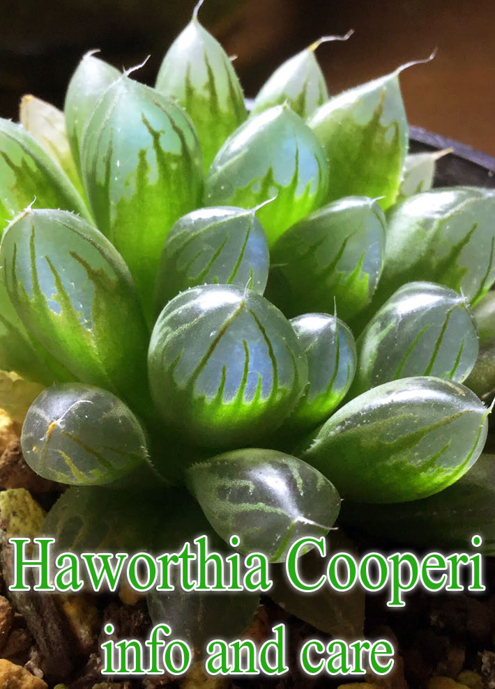 Haworthia cooperi var. truncata – Info and Care