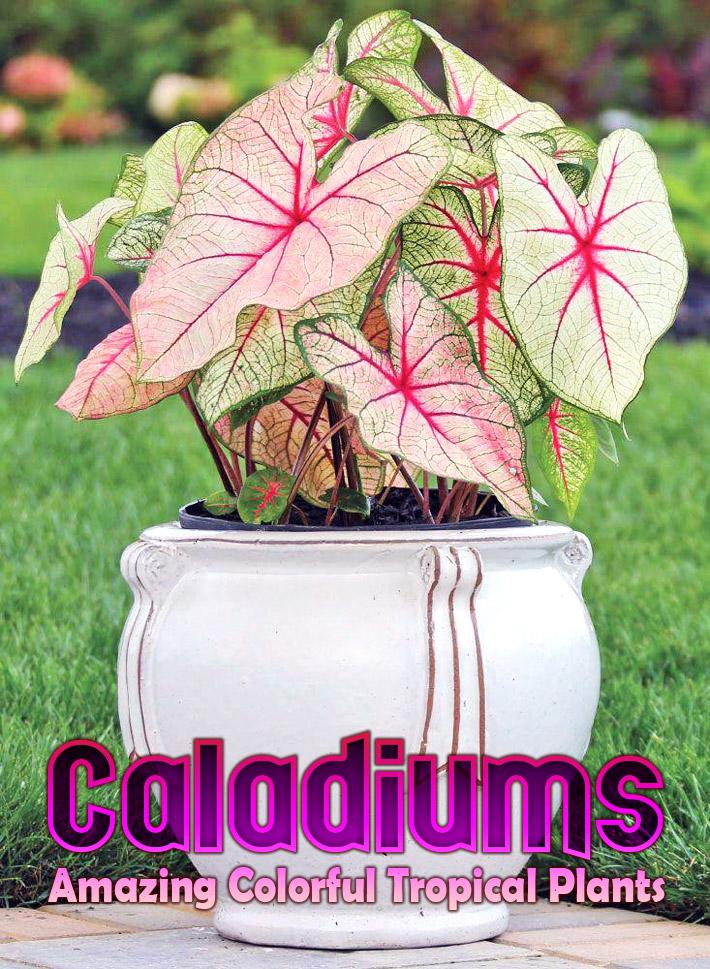 Caladiums - Amazing Colorful Tropical Plants - Quiet Corner
