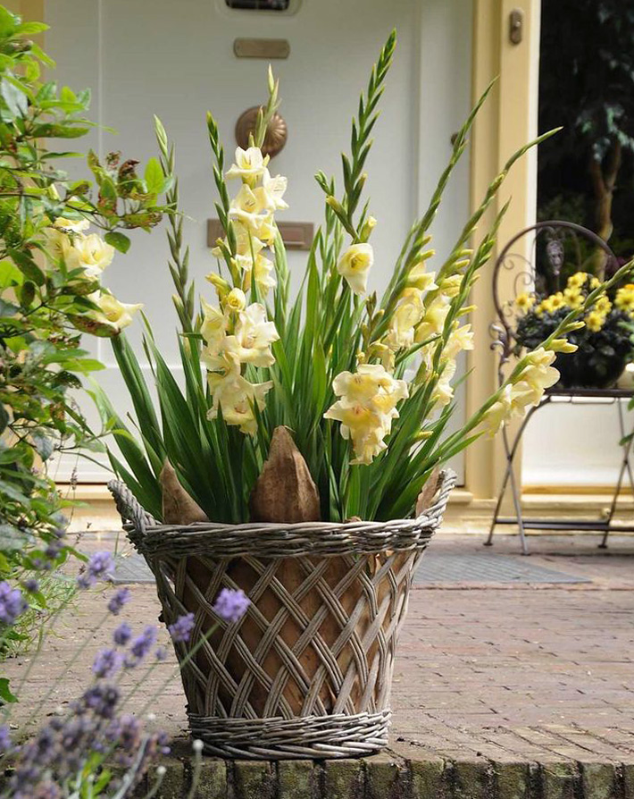 How to Plant and Grow Gladiolus in Pots - Quiet Corner