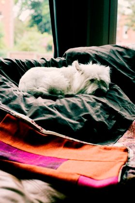 Rosa the dog snuggles up in her Harris Tweed quilt
