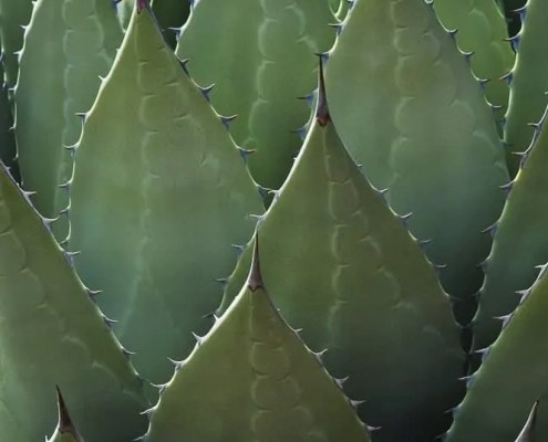 Agave Close Up
