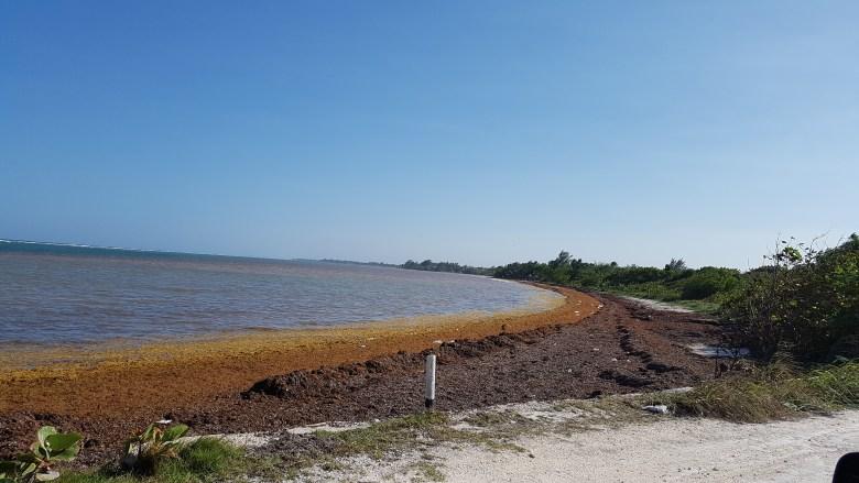 Invade sargazo a Mahahual Quintana Roo