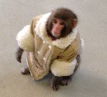 Monkey in a Jacket outside IKEA