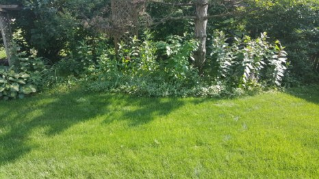 Illinois prairie backyard with milkweed
