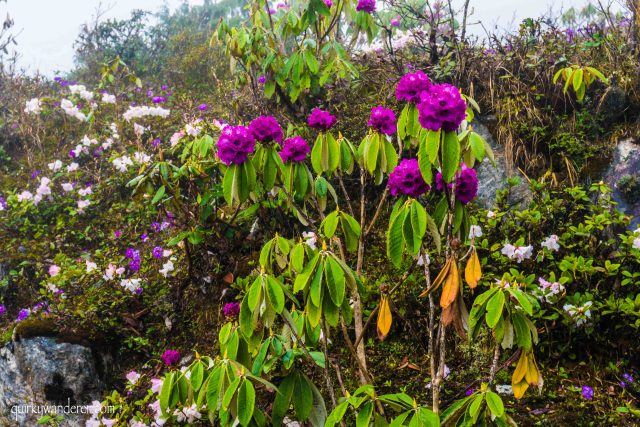 Yumthang valley in North Sikkim is known for its rhododendron blooms.
