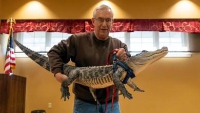 Photo of En Pensilvania: sacan a pasear como mascota a cocodrilo de 1.3 metros (Video)