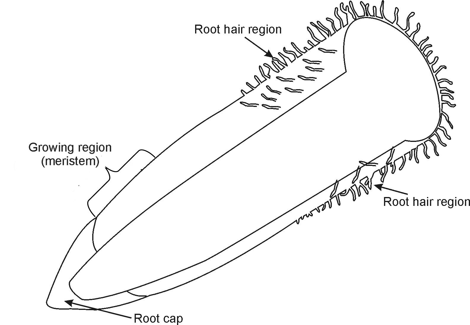 Memorandum Plant Organs Roots By Openstax