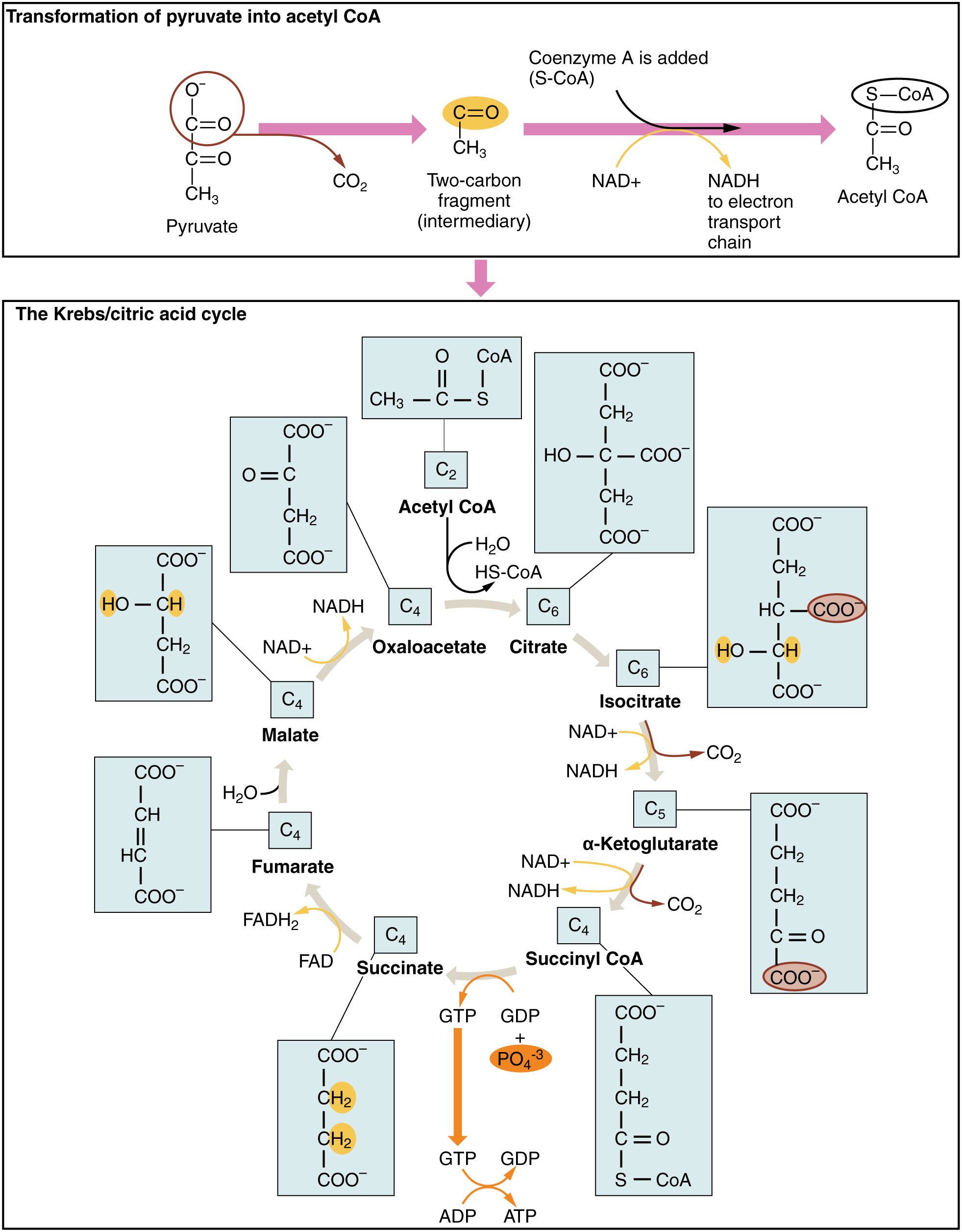 Krebs Cycle Citric Acid Cycle Tricarboxylic Acid Cycle By