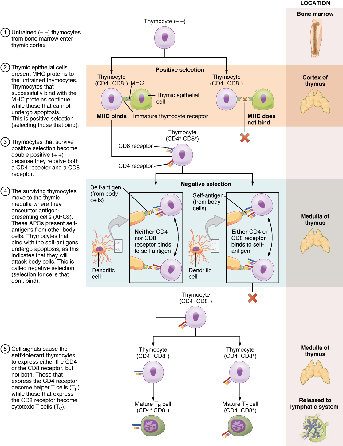 T Cell Development And Differentiation By Openstax Page 4