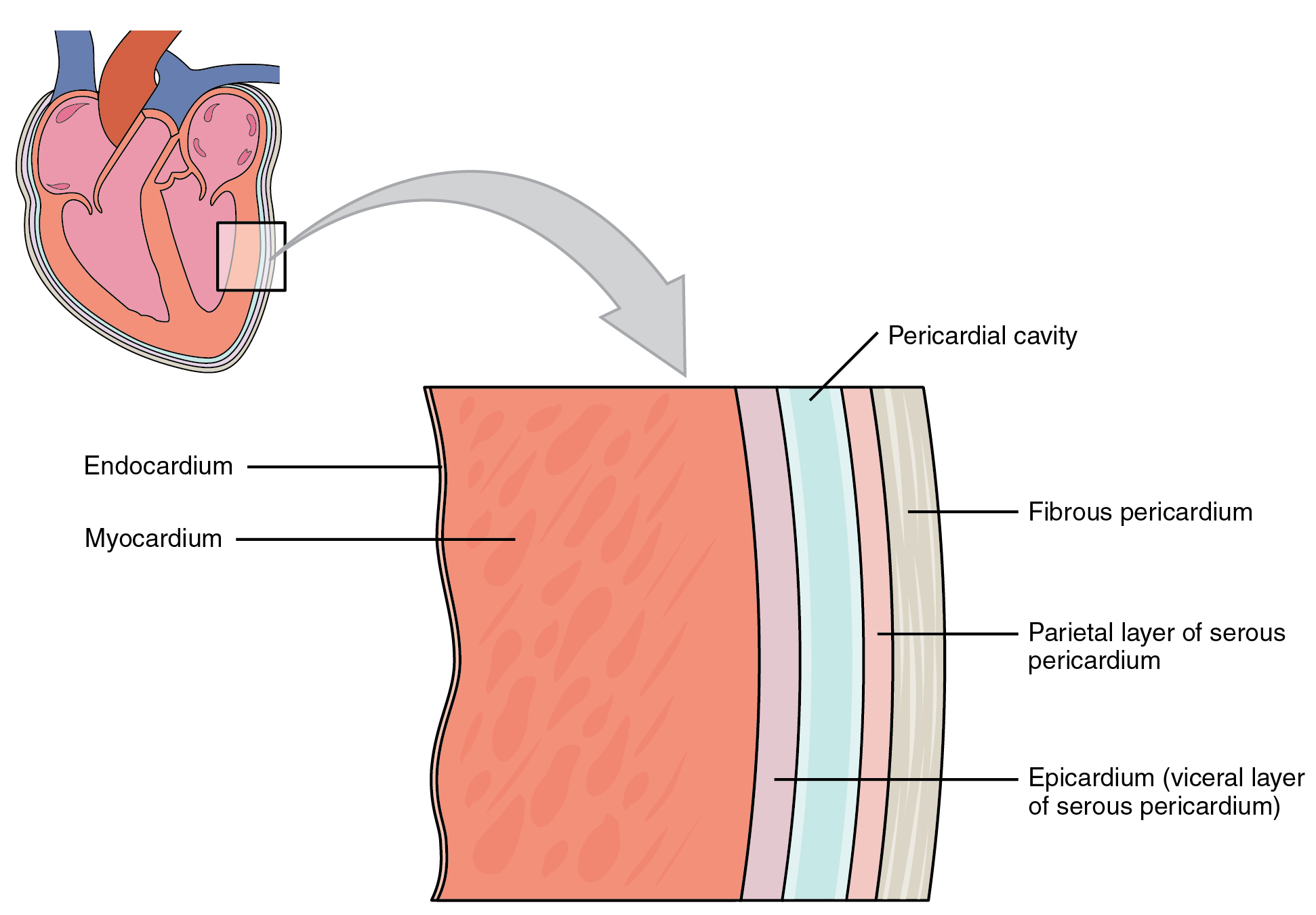 Layers Heart Anatomy By Openstax Page 4 86