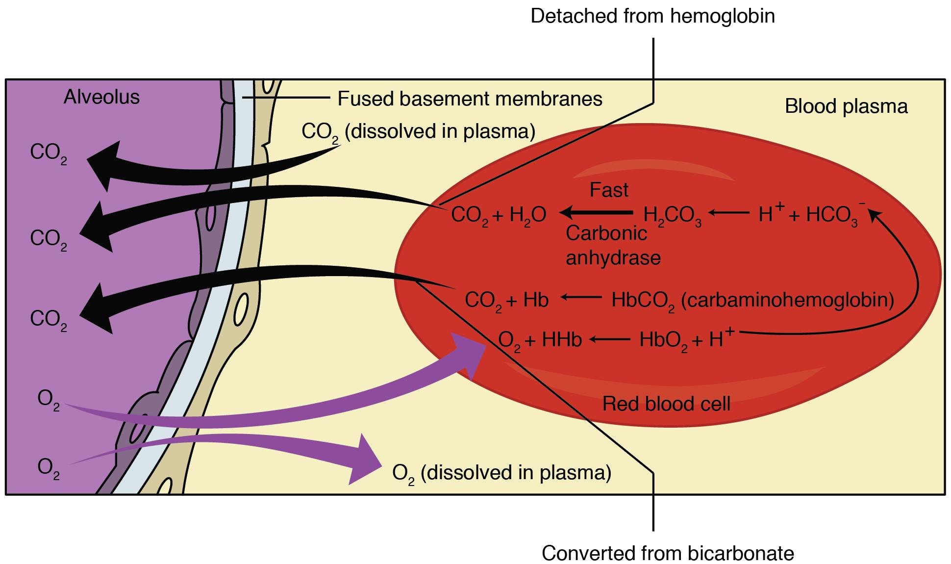 Internal Respiration Gas Exchange By Openstax