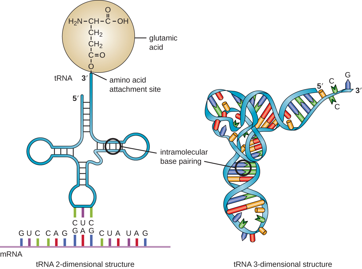 Matching Structure And Function Of Rna By Openstax Page