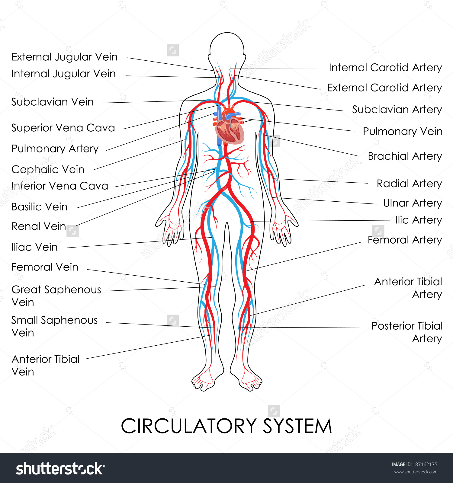 Quotes About Cardiovascular System 46 Quotes