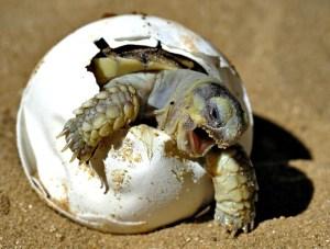 tortuga-saliendo-del-huevo