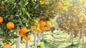 Naranjas-arbol_
