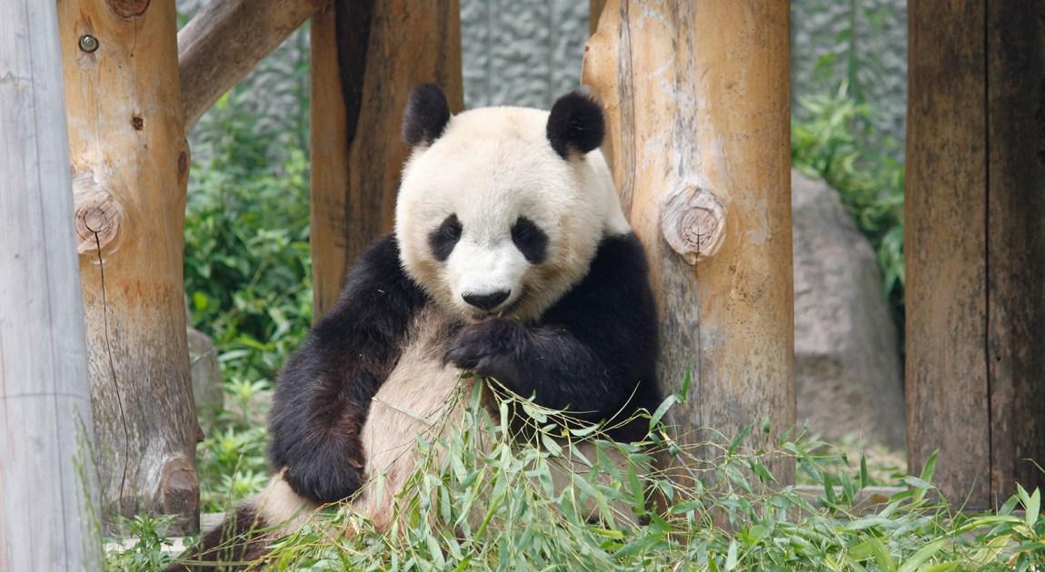 王子動物園 パンダ