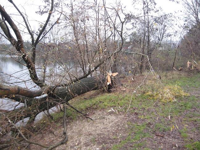 Výrub desiatich dospelých topoľov bielych (Populus alba) s obvodom pňov v mieste rezu 110 až 500 centimetrov pripomína masaker...