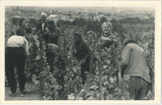 Oberačka v kolovom vinohrade v Rači.