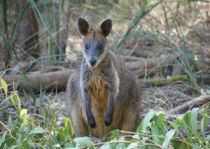Adelaide - Kangaroo Island (170 Km + Traghetto).jpg