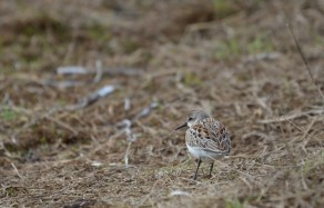 This tiny Western Sandpiper has a wounded left leg. The foot doesn't come forward and it walks on it tucked under and dragging. Resting and feeding before crossing the Strait southward bound.