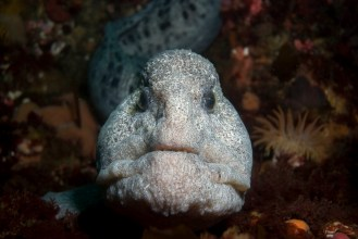 This Wolf eel has taken up residence somewhere in the vicinity of the tidal current energy piling. August, 2008 photos by Erik Schauff (copyright)