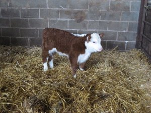 New born calf for beef