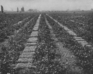 Raisins Drying in the San Joaquim Valley of California.  From James Franklin Chamberlain, How We Are Fed (1903)