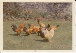 Poultry at Ley