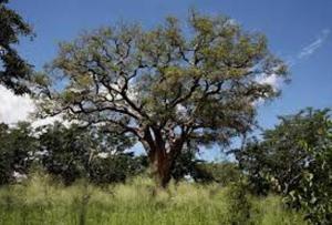 Mongongo nut tree