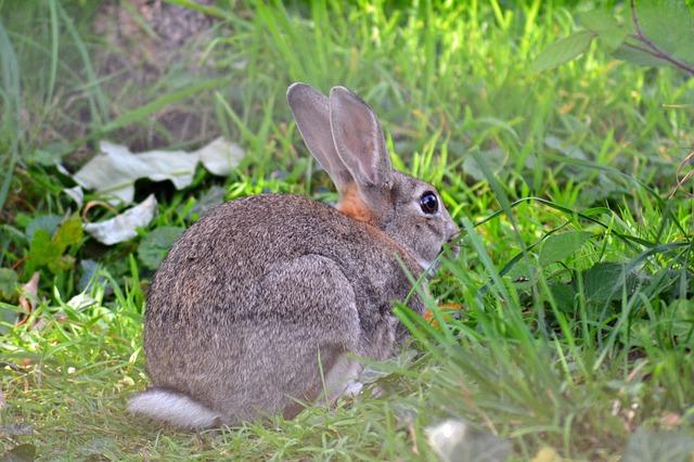 Oryctolagus-Cuniculus-Adult-Rabbit-Europ