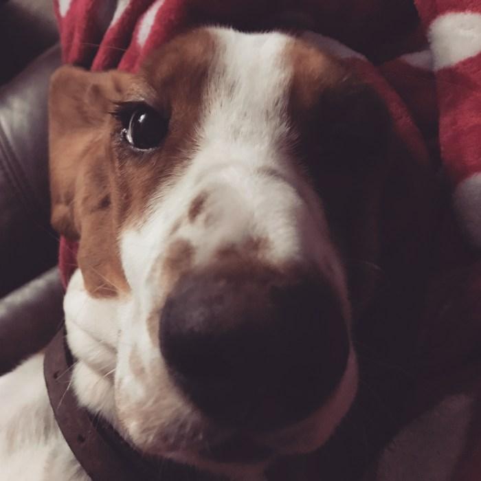 Happy 1st Birthday To Maisy, Our Beautiful Basset Hound.