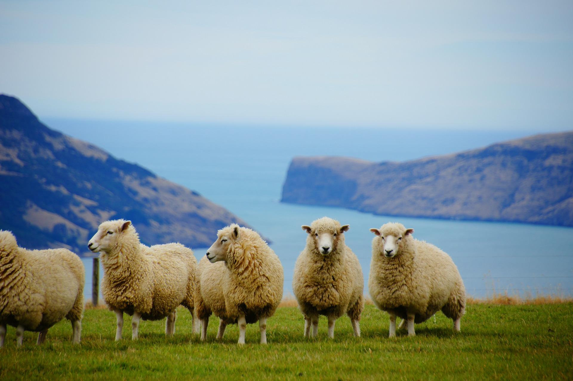 Neuseeland mit Schafen