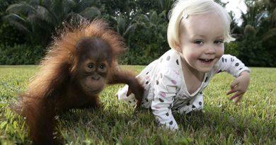 O mito dos 99%: Será que humanos e chimpanzés são tão semelhantes como dizem os evolucionistas?