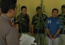 Tanam Puluhan Batang Ganja Di Halaman Rumah, Warga Natar Ditangkap Polisi