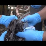 Waspada Flu Burung, Balai Besar Veteriner Melakukan Penelitian