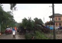 Pohon Tumbang Tutupi Badan Jalan, Jalinsum Macet Hingga 5 Kilo Meter