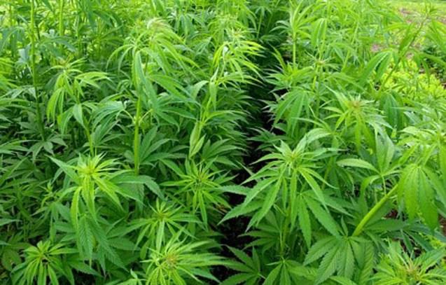 Plants de cannabis (illustration) © DR