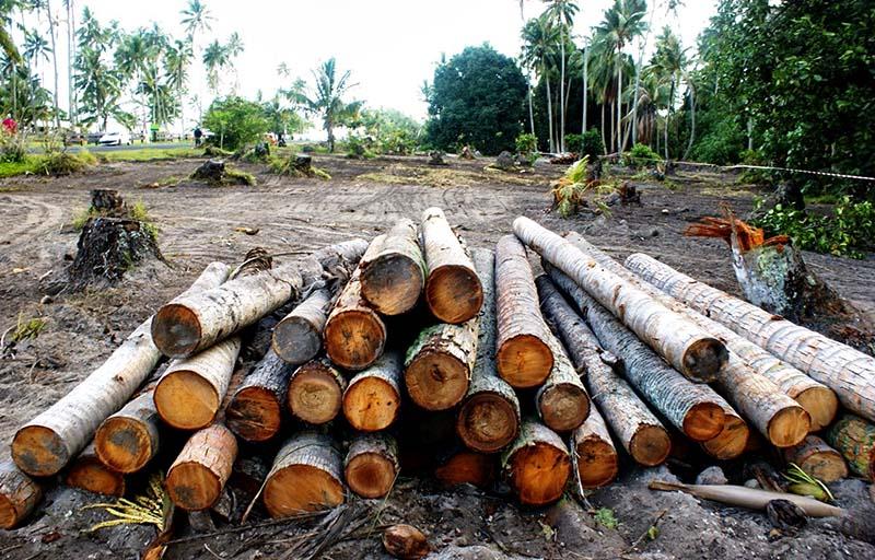80 cocotiers ont été rasés sans autorisation DR