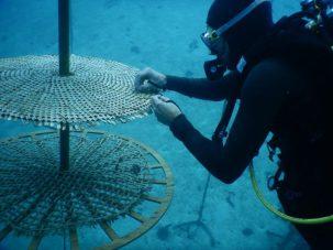 nurseries coralliennes biomimétisme