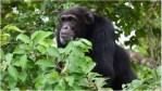 CÔTE D'IVOIRE (Sipilou) : Une femme tuée par un chimpanzé dans une forêt classée