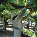 Acordaron el precio de la gamela de uva