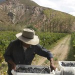 La cosecha de uva ya superó los 36 millones de kilos